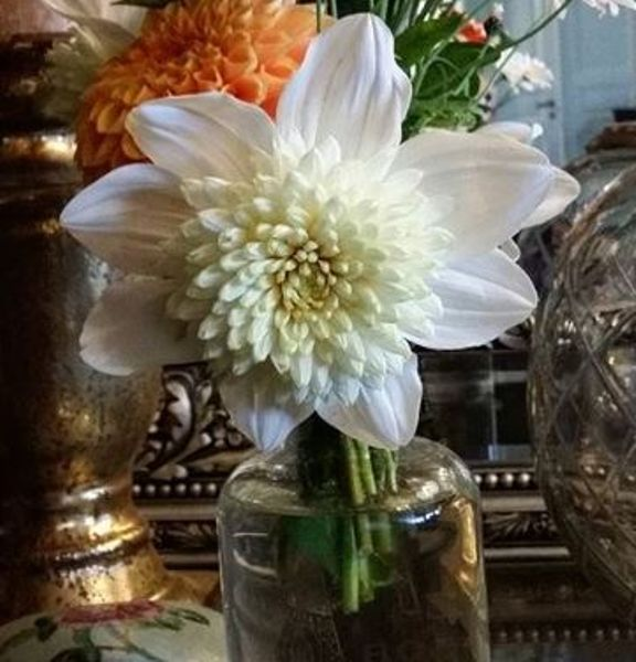 94110_Nordic_Garden_Dahlia_anemone_Platinum_Blonde_2